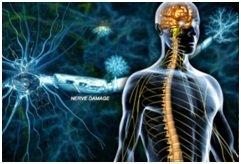 Cervello con nervi