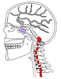 Arterie Vertebrali
