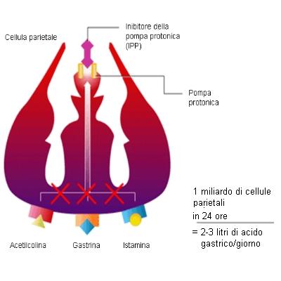 Cellula parietale gastrica