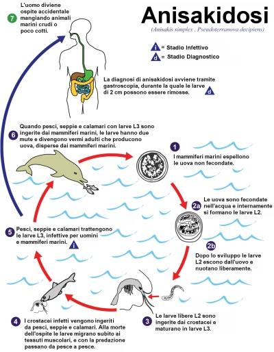 Ciclo biologico dell'Anisakia