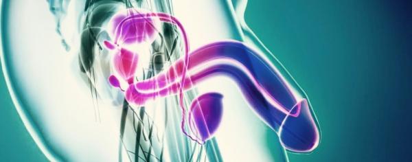 Asta e glande dell'organo genitale maschile