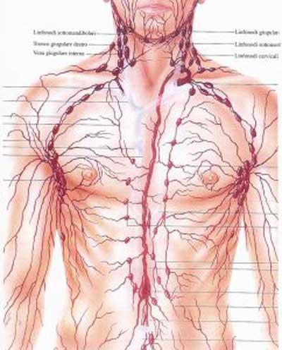 Linfonodi: circolo linfatico