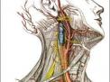 mesentere,intestino,gastroenterologia,anatomia,addome,colonproctologia intestino organo  addome
