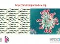 Coronavirus e fertilità maschile