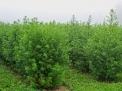 Artemisia annua L.